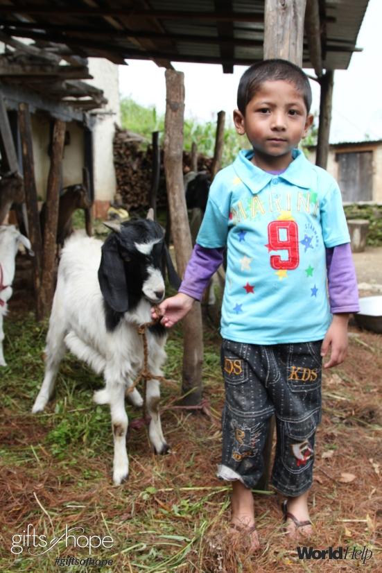 Goats_